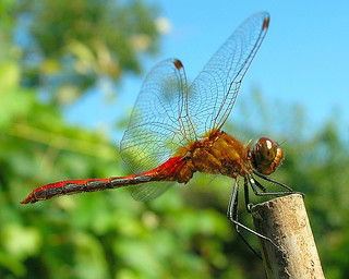 ~~ Red Dragonfly is back!!!! ~~(perching on a Bamboo Stick)