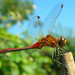 ~~ Red Dragonfly is back!!!! ~~(perching on a Bamboo Stick) by CeeCeeDotCa