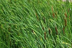 prairie, agriculture, field, grass, plant, chrysopogon zizanioides, herb, hierochloe, green, produce, plant stem, grassland,