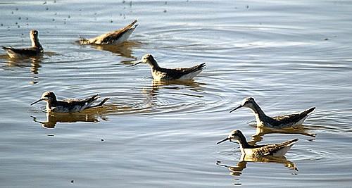Mono Lake Birds