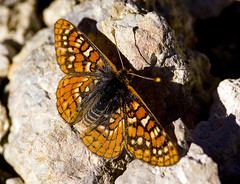 Butterfly on Mammoth Mountain