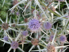 flower, thistle, plant, nature, thorns, spines, and prickles, macro photography, herb, wildflower, flora, produce, close-up,