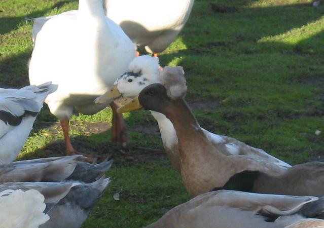 Funny-looking ducks (great wigs!), Zoodoo Fun Park, nr ...