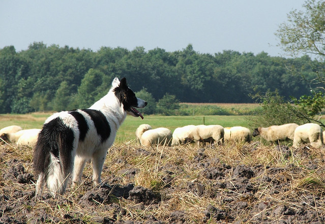 Border Collie 3 wakend
