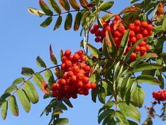 evergreen(0.0), shrub(0.0), acerola(0.0), flower(0.0), strawberry tree(0.0), crataegus pinnatifida(0.0), schisandra(0.0), branch(1.0), tree(1.0), flora(1.0), produce(1.0), fruit(1.0), food(1.0), rowan(1.0),