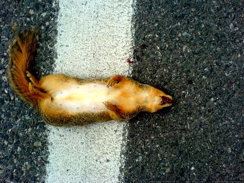 roadkill squirrel on mcvey st.   DSC00081