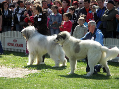 white shepherd(0.0), great pyrenees(0.0), dog breed(1.0), animal(1.0), dog(1.0), romanian mioritic shepherd dog(1.0), pet(1.0), maremma sheepdog(1.0), mammal(1.0), irish wolfhound(1.0), slovak cuvac(1.0), conformation show(1.0), livestock guardian dog(1.0),