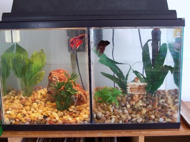 Divided 10 gallon betta tank flickr photo sharing for Multiple betta fish tank