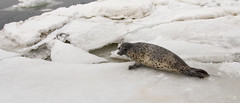 Sub-Adult Spotted Seal