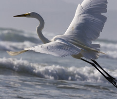 great-egret-morro-strand_l_cs3