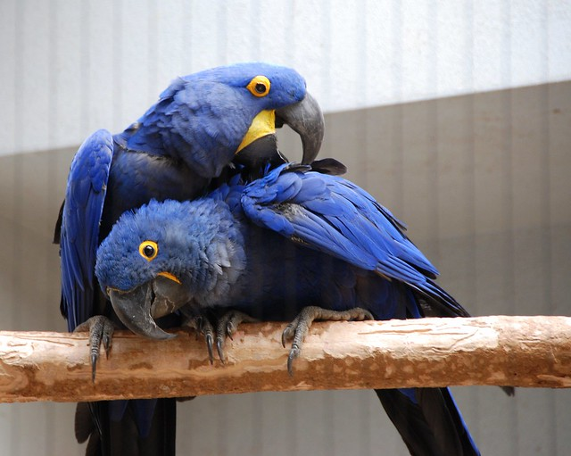 Hyacinth Macaws (Anodorhynchus hyacinthinus)