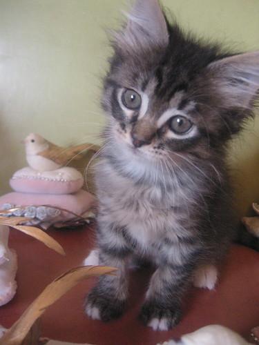 Krafty Kitty Vinny