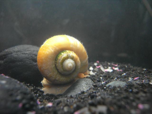 Golden Apple Snail Flickr - Photo Sharing!