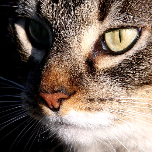 macro animal cat feline