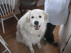 dog breed, animal, dog, pet, maremma sheepdog, slovak cuvac, carnivoran, great pyrenees,