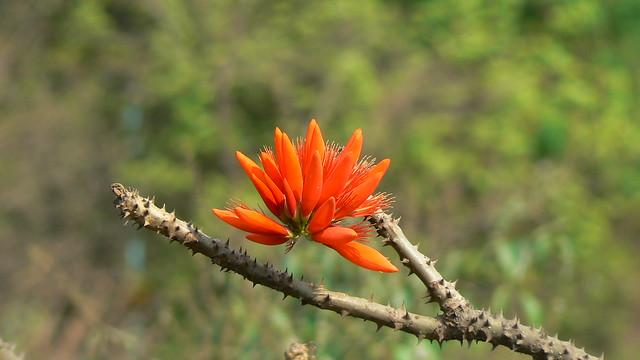 Murukku Maram Tamil முருக்கு மரம் Flickr Photo Sharing
