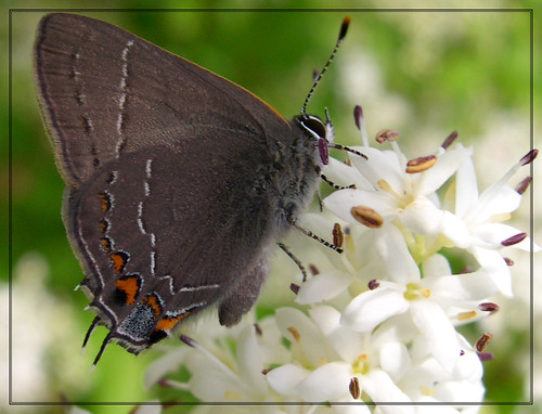 Southern Hairstreak (Satyrium favonius)