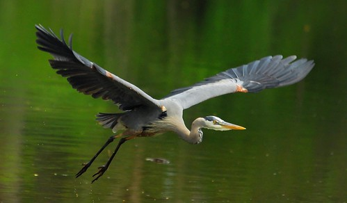 bird heron nature birds animal animals fly flying wings nikon flight wing maryland d200 greatblueheron herons gbh greatblueherons featheryfriday flickrsbest animaladdiction ozoni11