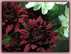 Chysanthemums with maroon flowers