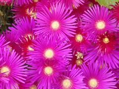 chrysanths(0.0), dorotheanthus bellidiformis(1.0), annual plant(1.0), flower(1.0), macro photography(1.0), flora(1.0), ice plant(1.0), petal(1.0),