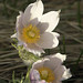eastern pasqueflower - Photo (c) Marilylle Soveran, some rights reserved (CC BY-NC)