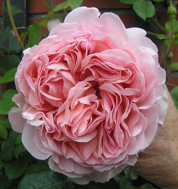 david austin english roses 5 a gallery on flickr. Black Bedroom Furniture Sets. Home Design Ideas