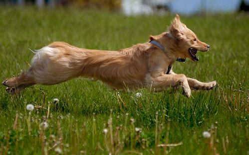 dog pet topv111 goldenretriever fly topv555 topv333 bc topc50 blond portcoquitlam castlepark challengeyouwinner pet100 2007050900051 bestofdogs