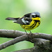 Magnolia Warbler - Photo (c) Dave Fletcher, some rights reserved (CC BY-ND)