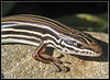 "<a href=""http://www.flickr.com/photos/dark_morelia/522613148/"">Photo of Ctenotus taeniolatus by Dark Morelia</a>"