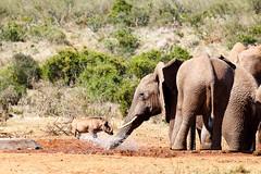 Elephant squirting a warthog