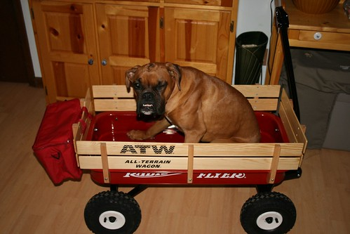 A Wagon Full of Boxer!!!
