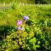 flowers near luscher farm   DSC00091