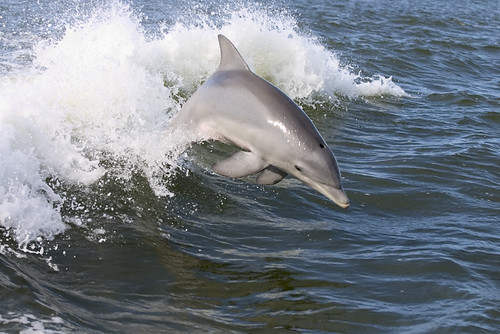 Dolphin Jumping in Wake