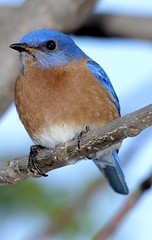 His (Male Eastern Bluebird)