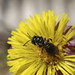 Sweat bee on Coltsfoot