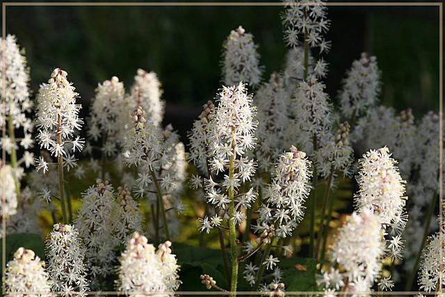 Heuchera - Heucherella - Tiarella - Tellima 479719593_2c9dd2e70e_z