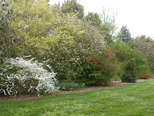 Need suggestions for privacy shrubs hedge - Shrubbery for privacy ...