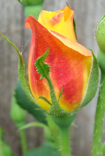 First Rose Bud in My Garden