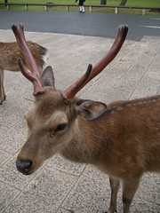 Deer 03