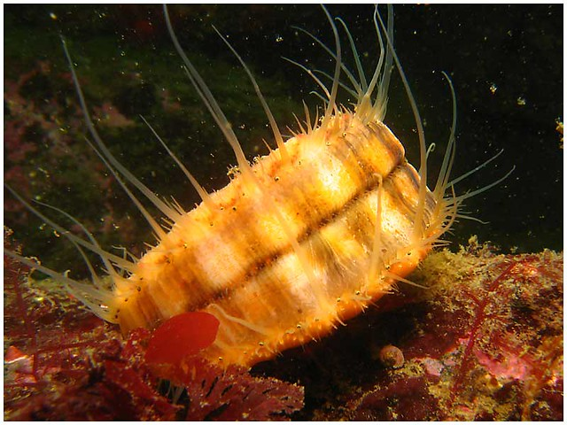 Spiny Pink Scallop