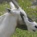 Small photo of Gazelle