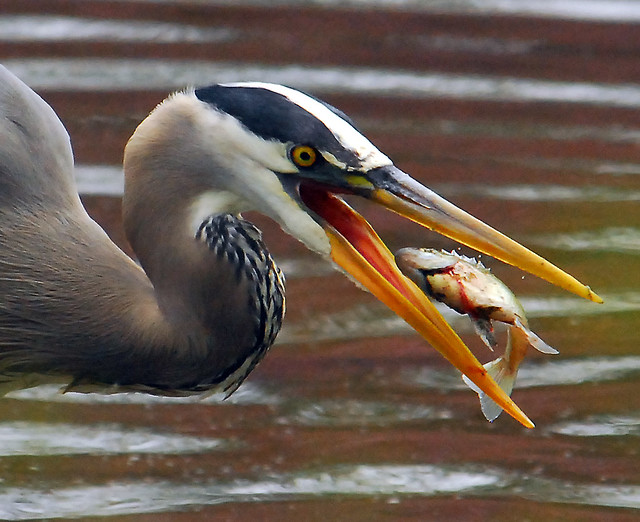 Great Blue Heron Fishing...Part Two of Two...Flipping the Fish