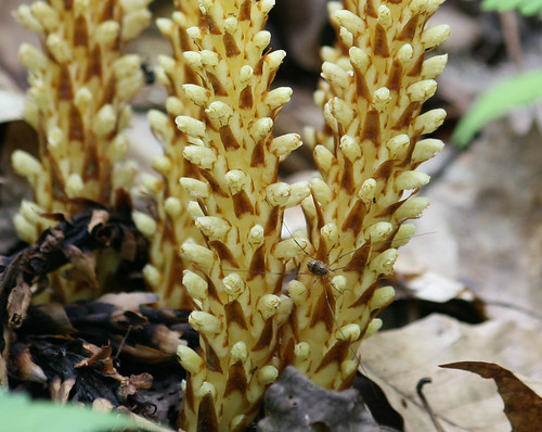 Squaw root, Conopholis americana