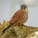 Common Kestrel - Photo (c) Paul Roberts, some rights reserved (CC BY-NC)