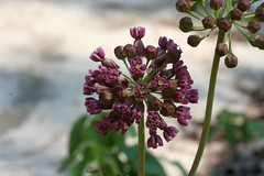 Clasping Milkweed (Asclepias amplexicaulis)