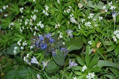shrub, flower, plant, galium odoratum, herb, flora,