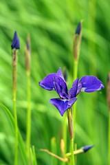 iris, flower, iris versicolor, plant, nature, macro photography, herb, wildflower, flora, green, plant stem,