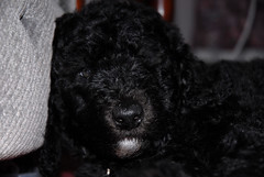 toy poodle, miniature poodle, animal, dog, schnoodle, boykin spaniel, pet, lagotto romagnolo, mammal, irish water spaniel, poodle, cockapoo, portuguese water dog, spanish water dog, newfoundland, barbet, black,
