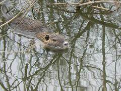 animal, branch, rodent, fauna, muskrat, wildlife,
