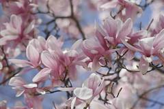 blossom, flower, branch, magnolia, lilac, flora, spring, pink, petal,